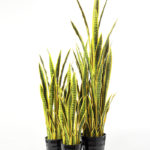 50*150CM Sansevieria in plastic pot GS-1380343