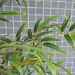 Artificial Tree 84*82*274CM Bamboo tree in plastic pot/lvs3354 GS-30419013