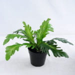 Artificial Plant 33*33*23cm Crown daisy in plastic pot GS-03319182