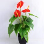 Artificial Tree ANTHUNIUM PLANT *3 W/ PLASTIC POT GS-0450173-GSML