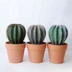 Artificial succulent 14*14*25.5CM Cactus in plastic pot GS-45219104